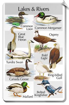 BirdSong IdentiFlyer SongCard <br>Birds of Lakes & Rivers