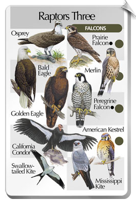 BirdSong IdentiFlyer SongCard <br> Raptors Three - Falcons