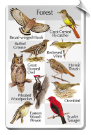 BirdSong IdentFlyer SongCard <br> Birds of the Forest